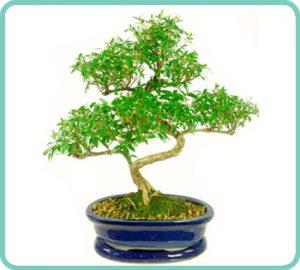 Example of Serissa foetida bonsai tree