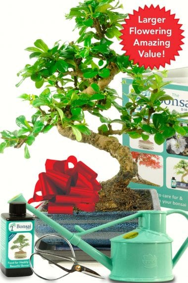 Larger Flowering bonsai kit - exceptional value