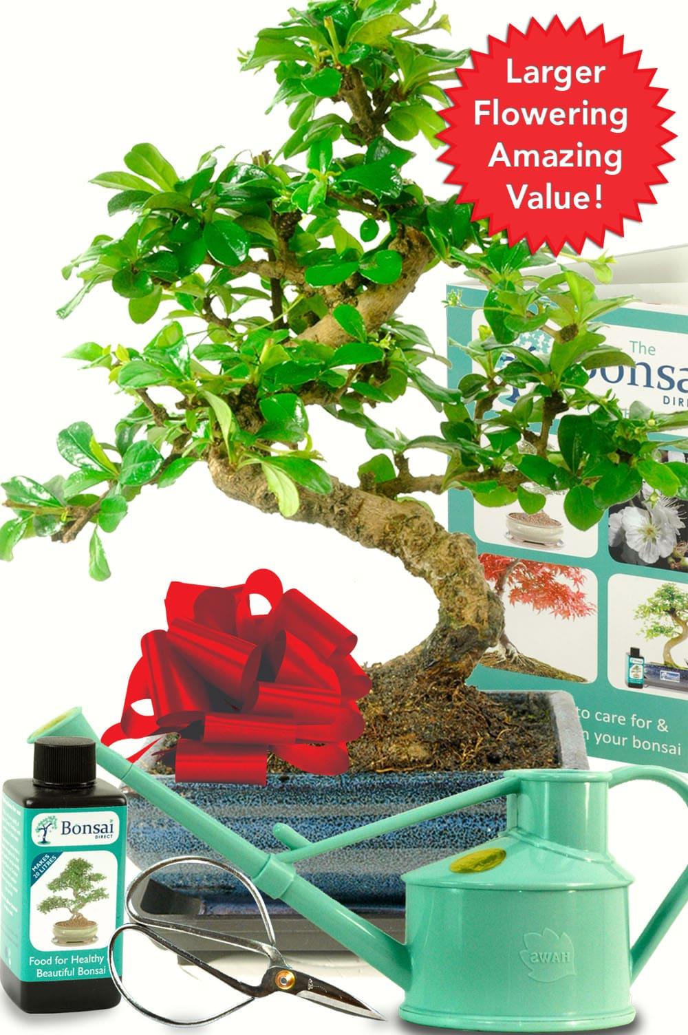 Outstanding Twisty Flowering Tea Tree Bonsai Kit Choose The Colour
