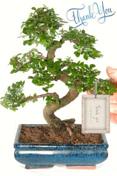 Thank you bonsai tree gift for sale