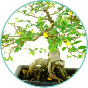 Yellow bonsai tree leaves