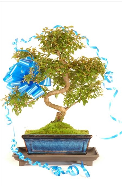 Beautiful Chinese Sweet Plum Bonsai Gift with Humidity tray (GSAG6)