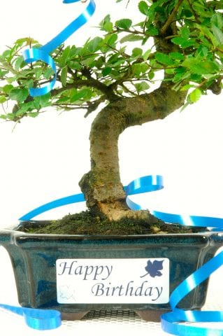 Beginners Bonsai Chinese Elm with Happy Birthday Plaque Label