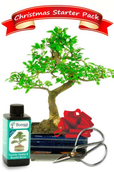 Beginners Christmas Bonsai Starter Kit
