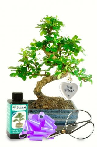Beautiful flowering bonsai plant for your best friend