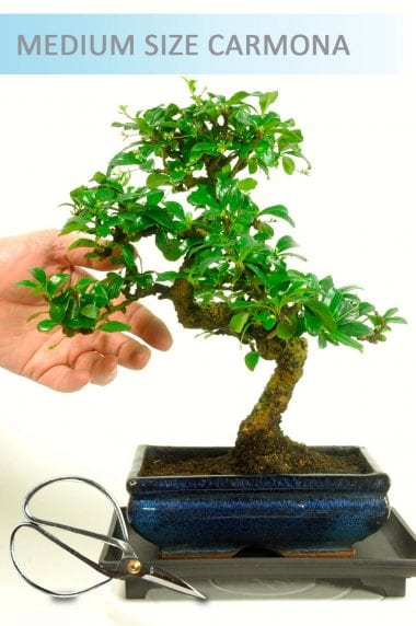 Carmona Bonsai with tray and scissors - Medium Sized Bonsai