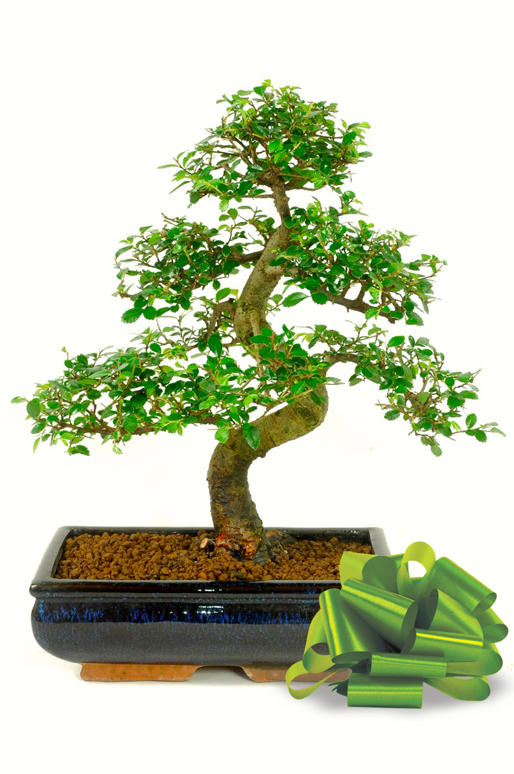 Large Chinese Elm Bonsai Tree For Sale In The Uk Delivery 7 Days A Week