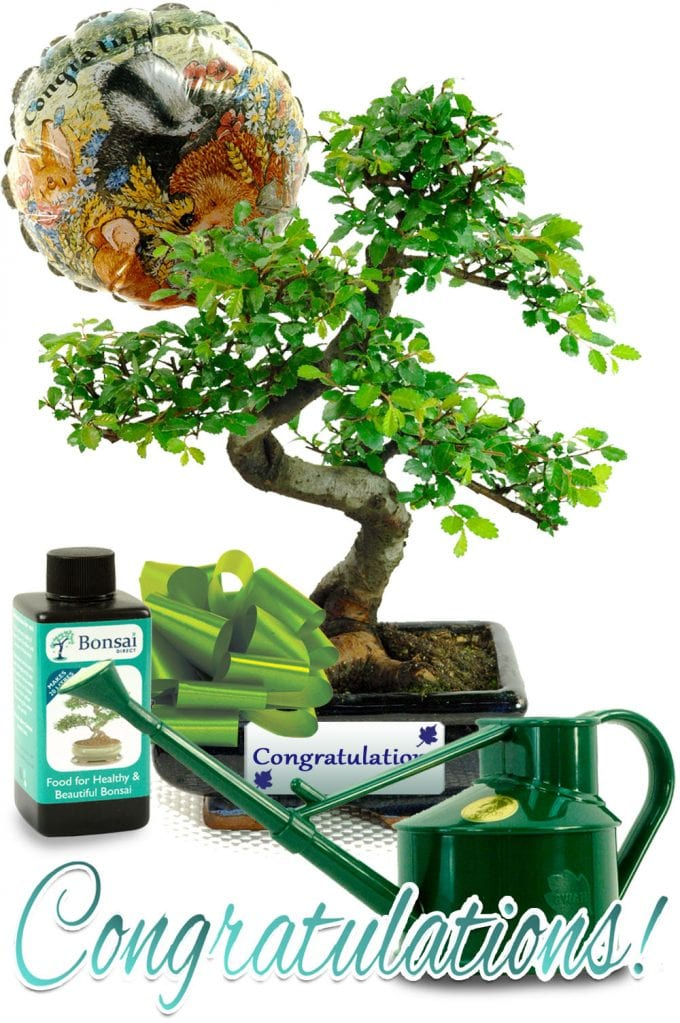 Chinese Elm Congratulations Gift Set with Watering Can