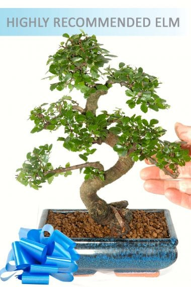 Chinese Elm ~ Indoor Bonsai (IDCE8)