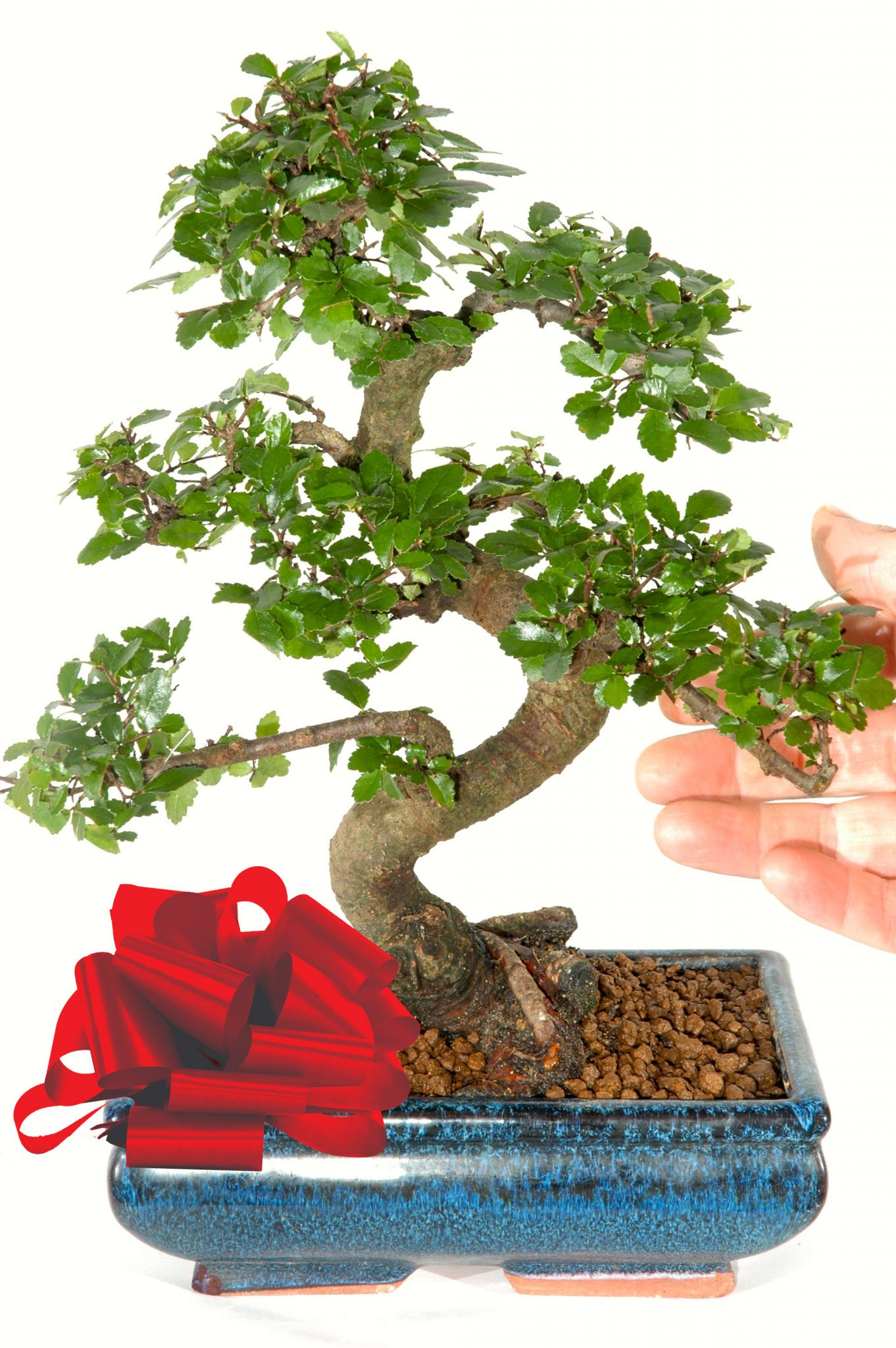 Chinese Elm Indoor Bonsai Trunk Style 12 Years Old Bonsai Patio Lawn Garden