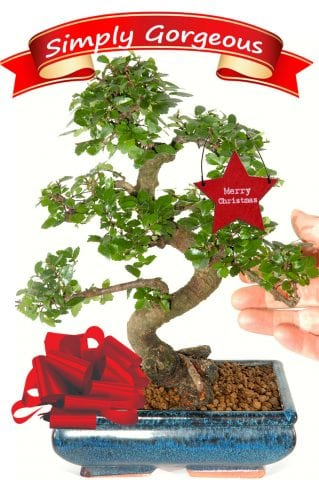 Larger S-Shaped Chinese Elm for Christmas