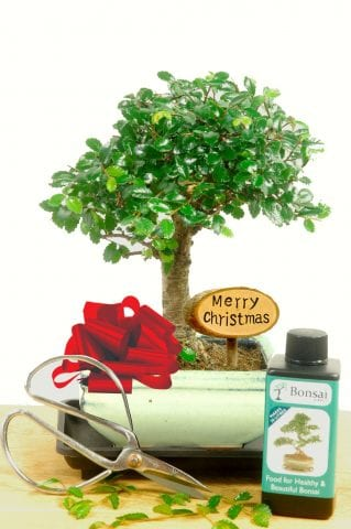 Beautiful baby Christmas bonsai gift set photographed in cream pot