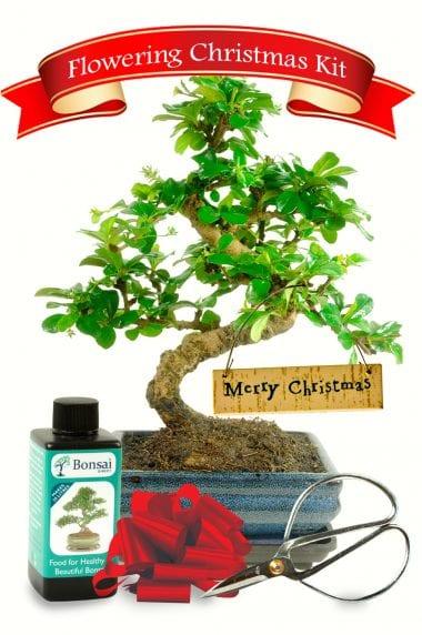 Gorgeous Christmas bonsai kit