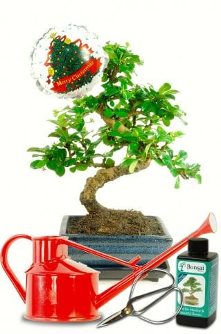 Flowering Christmas bonsai gift with drip tray, scissors, watering can & feed.