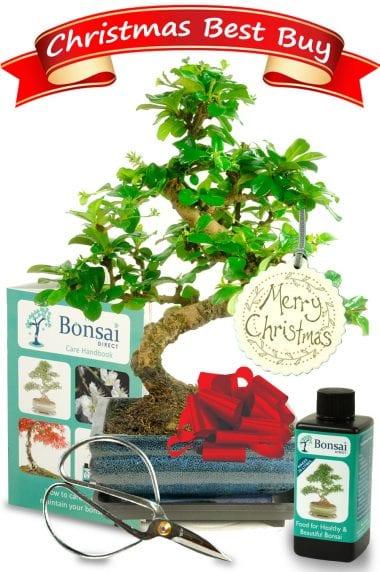 Flowering Christmas Bonsai Kit - Best Buy