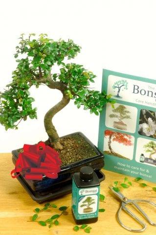 Comprehensive Chinese Elm Indoor Bonsai Set-0