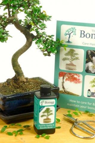 Comprehensive Chinese Elm Indoor Bonsai Set