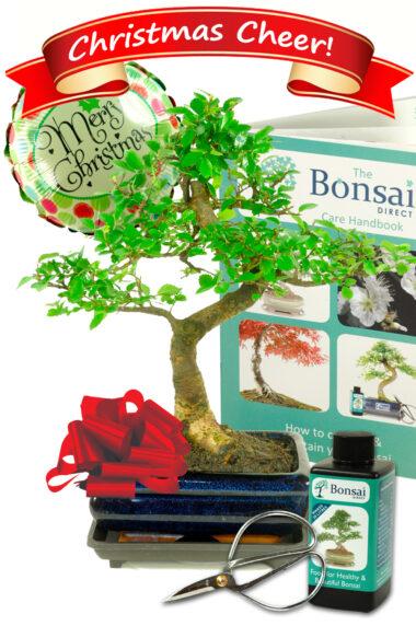 Comprehensive Christmas Chinese Elm Bonsai Gift Set