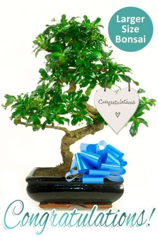 Exquisite Flowering Bonsai Congratulations Gift