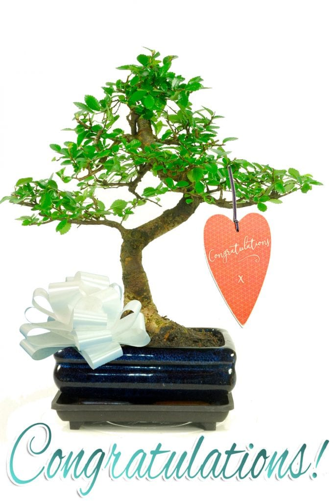 Twisty Chinese Elm Congratulations Bonsai