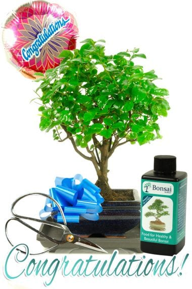 Congratulations Baby Chinese Elm Bonsai Gift
