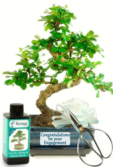 Congratulations on your Engagement Bonsai Gift