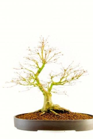 Specimen bonsai maple