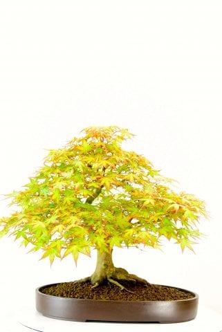 Stunning Maple bonsai
