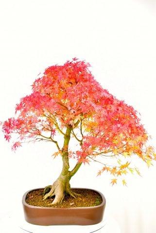 Specimen Maple bonsai grown by Lloyd Noall