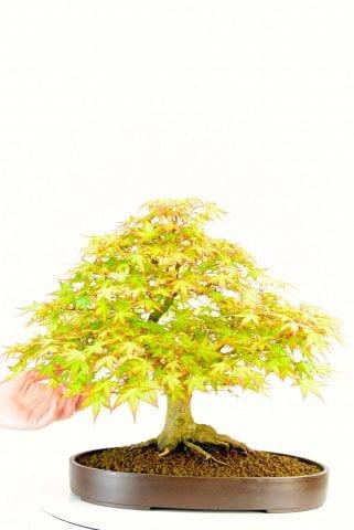 Summer foliage of Japanese Maple bonsai