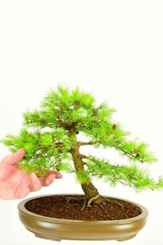 Specimen Larch/Larix bonsai