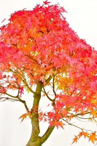 Amazing Late autumn foliage colour of Maple bonsai