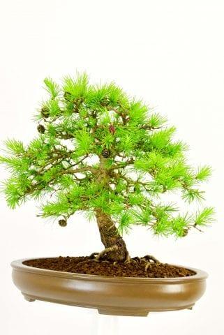 Specimen outdoor bonsai for sale