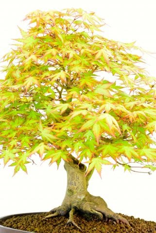 Close up of bonsai trunk