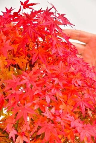 Late autumn specimen Maple bonsai colour
