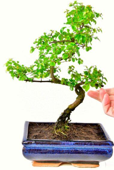 Chinese sweet plum bonsai (Sageretia theezans)