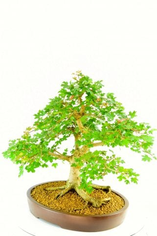specimen Maple bonsai tree