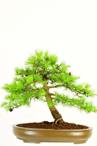 Incredible hardy outdoor bonsai