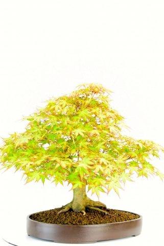 OD2375 Maple bonsai in leaf