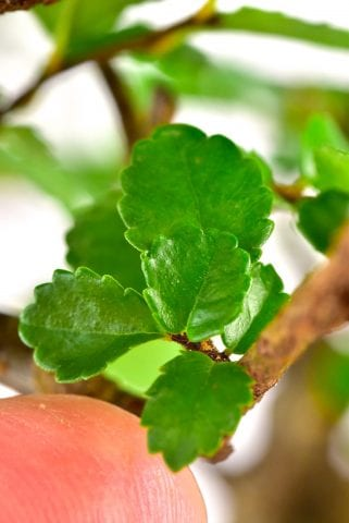 Tiny serrated leaves of the Chinese Elm