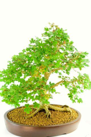 Acer campestre native bonsai fro sale