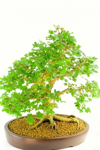 Acer campestre native bonsai fro sale