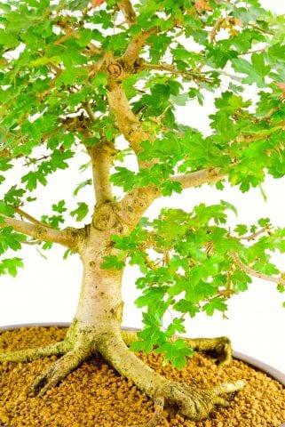 A real wow bonsai