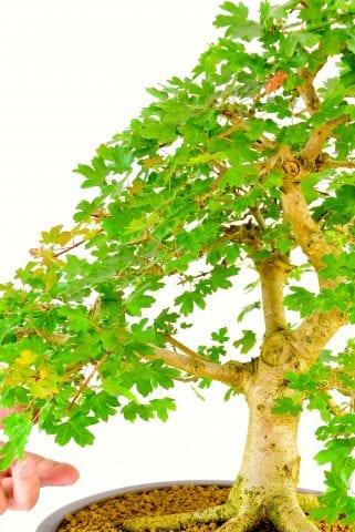 specimen native hardy bonsai for the garden