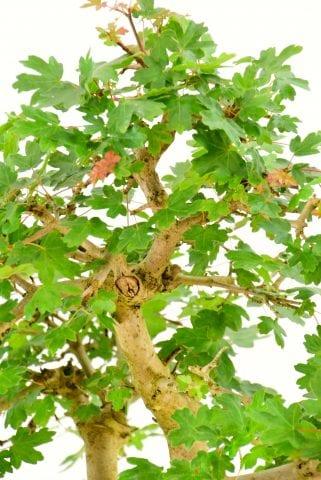 Outdoor bonsai at their best