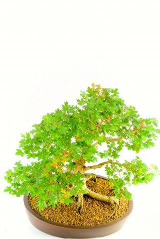 incredible canopy of this bonsai