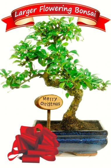 Exquisite Flowering Bonsai Christmas Gift