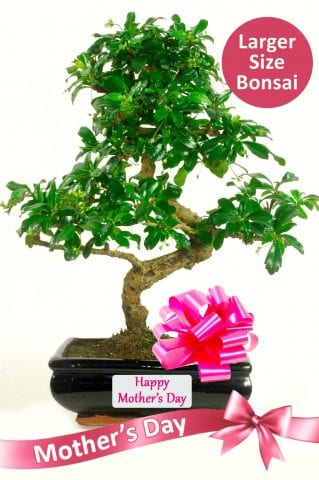 Exquisite Flowering Bonsai Mothers Day Gift