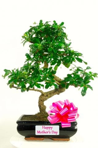 Exquisite Flowering Carmona Bonsai Mothers Day Gift