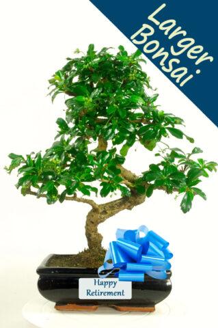 Exquisite Flowering Bonsai Retirement Gift